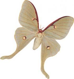 med_moth